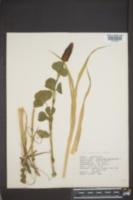 Trifolium incarnatum image