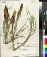 Image of Elionurus muticus