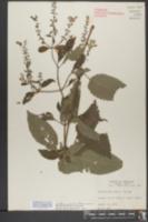 Image of Scutellaria punctata