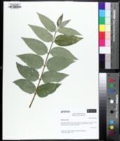 Image of Deutzia crenata