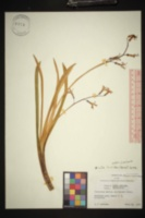 Image of Scilla luciliae