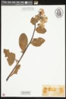 Mertensia pulmonarioides image
