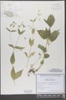 Image of Stellaria nemorum