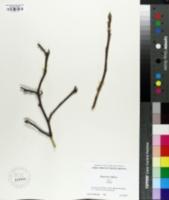 Image of Magnolia liliflora