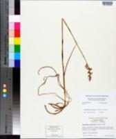 Spiranthes sylvatica image