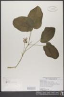 Image of Nemexia ecirrhata