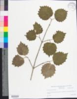 Image of Viburnum molle