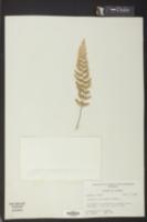 Image of Asplenium curtissii