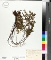 Image of Adiantum aethiopicum