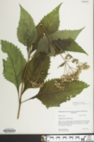 Image of Eupatorium steelei