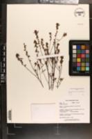 Image of Crocanthemum propinquum