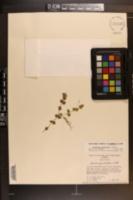 Lindernia grandiflora image