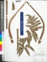 Image of Cyathea parvula