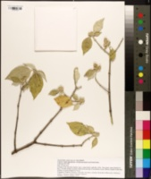 Nototrichium sandwicense image