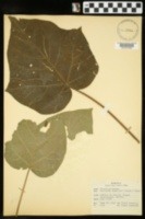 Paulownia tomentosa image