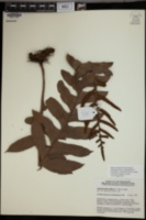 Image of Aglaomorpha pilosa