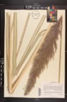 Image of Saccharum arundinaceum