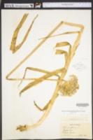 Allium porrum image