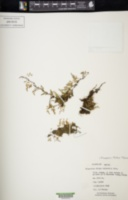 Pleopeltis fallax image