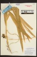 Iris domestica image