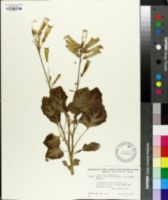Image of Nicotiana solanifolia