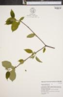Cornus amomum image