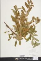 Hypericum walteri image