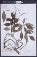 Image of Pilea semidentata