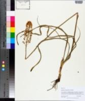 Zigadenus densus image