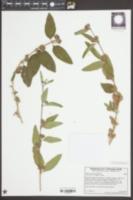 Lippia graveolens image