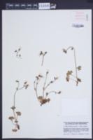Saxifraga granulata image