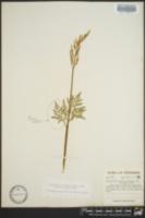 Sceptridium biternatum image