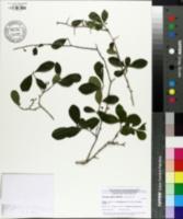 Image of Crataegus uniflora