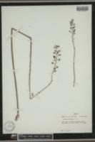 Lobelia boykinii image
