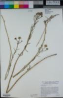 Erigeron foliosus var. foliosus image