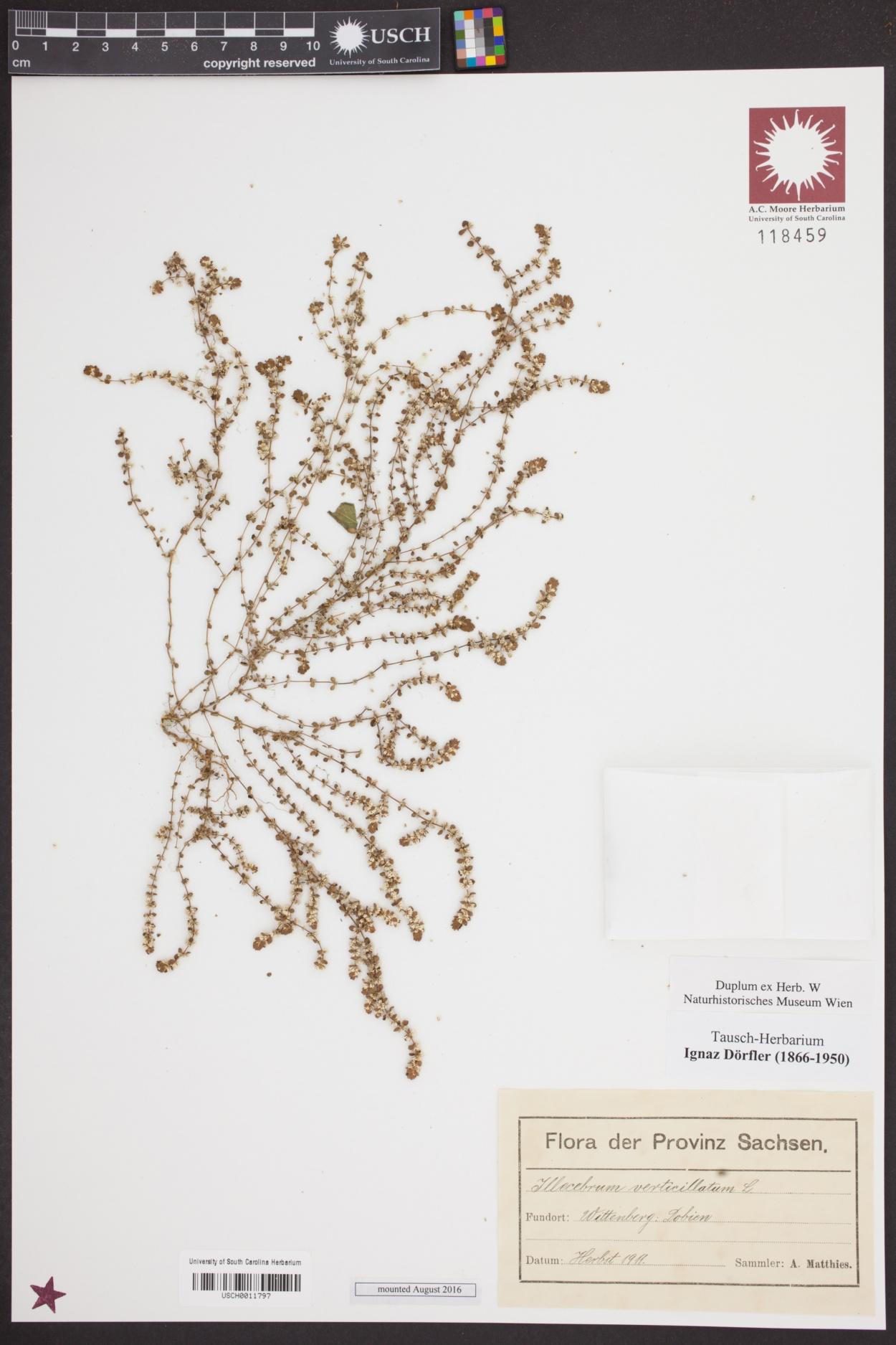 Illecebrum verticillatum image