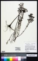 Hypericum exile image