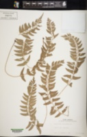 Polystichum formosanum image