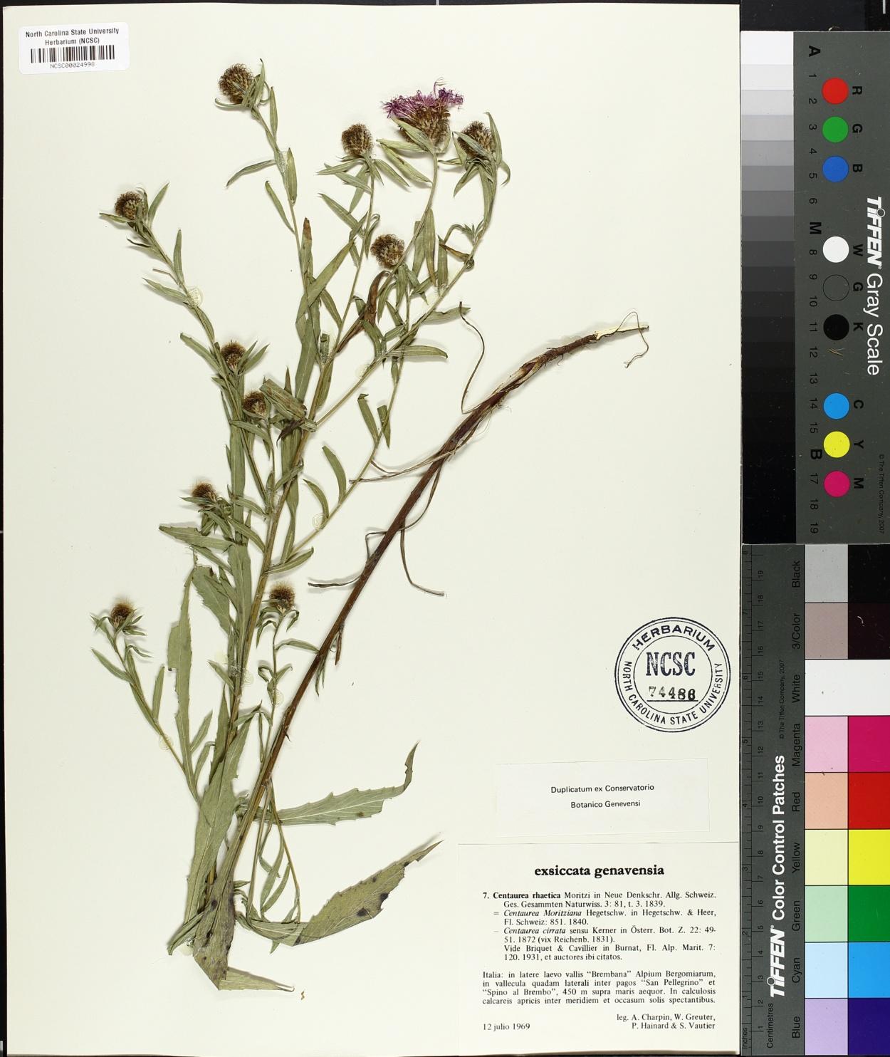 Centaurea rhaetica image