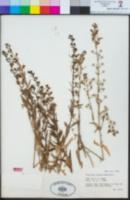 Teucrium glandulosum image