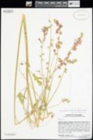 Image of Sidalcea gigantea
