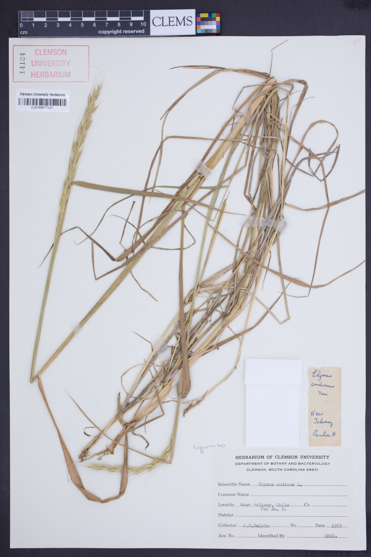 Elymus angulatus image
