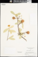 Jacquinia macrocarpa subsp. pungens image