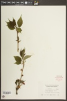 Prunus dulcis image