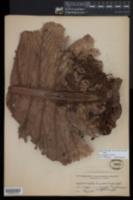 Aglaomorpha heraclea image