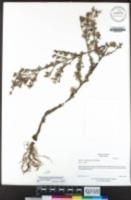 Symphyotrichum subulatum var. squamatum image