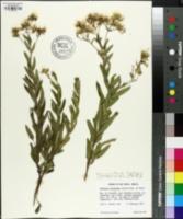 Image of Vernonanthura oligolepis