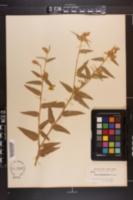 Image of Croton engelmannii