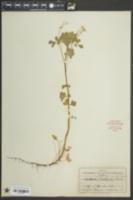Oxalis florida image