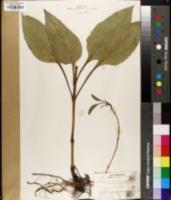 Helianthus occidentalis image